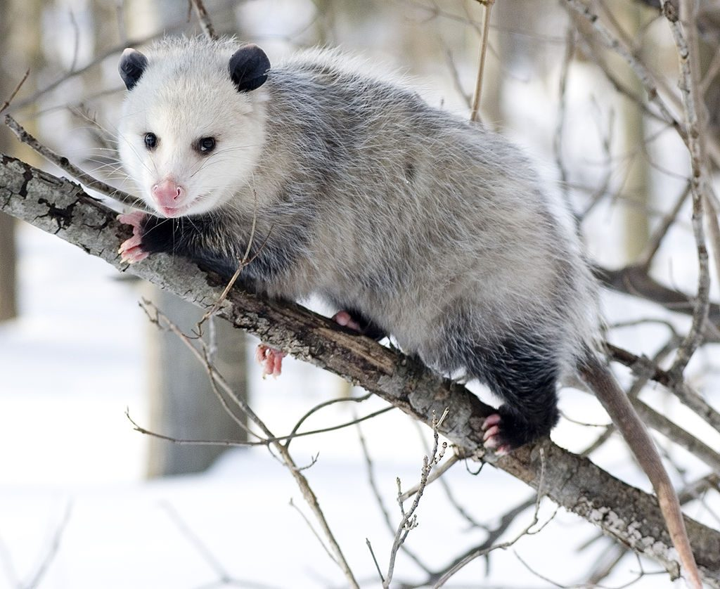 The Magic of Opossum Sightings